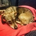 Dog on the overnight train from Rome to Vienna