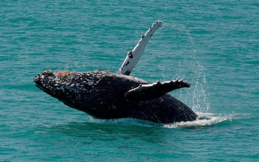 Humpback whale breaching out of the water in Bermuda during migration.