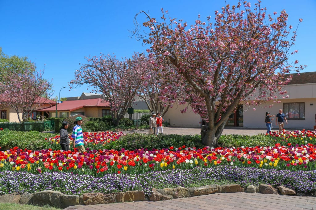 Tulip Time in Australia's Southern Highlands, a popular spring event.
