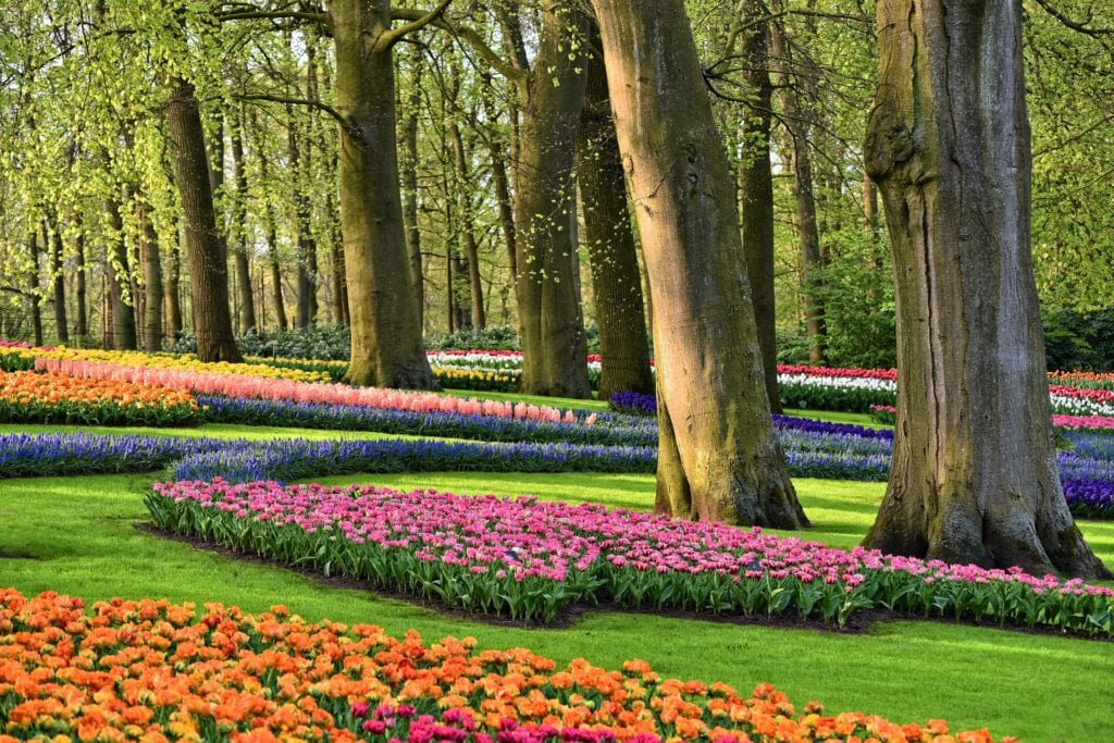Manicured flower gardens at Keukenhof in the Netherlands, in the ultimate guide to visiting Keukenhof.