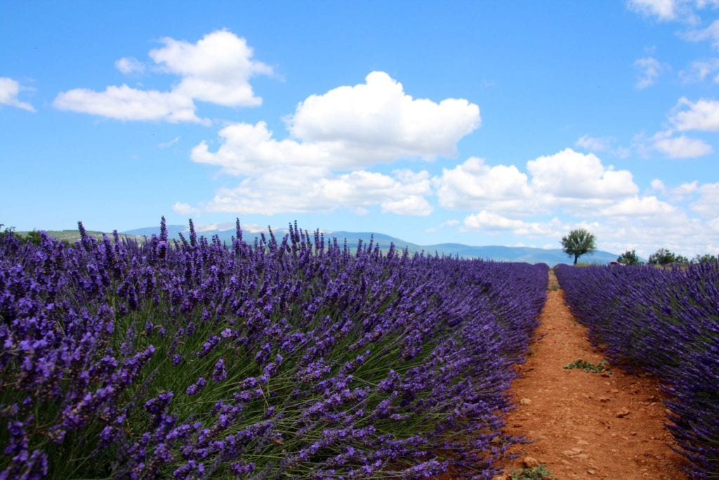 Lavender fields of Provence under blue skies with a narrow dirt path along the right side.