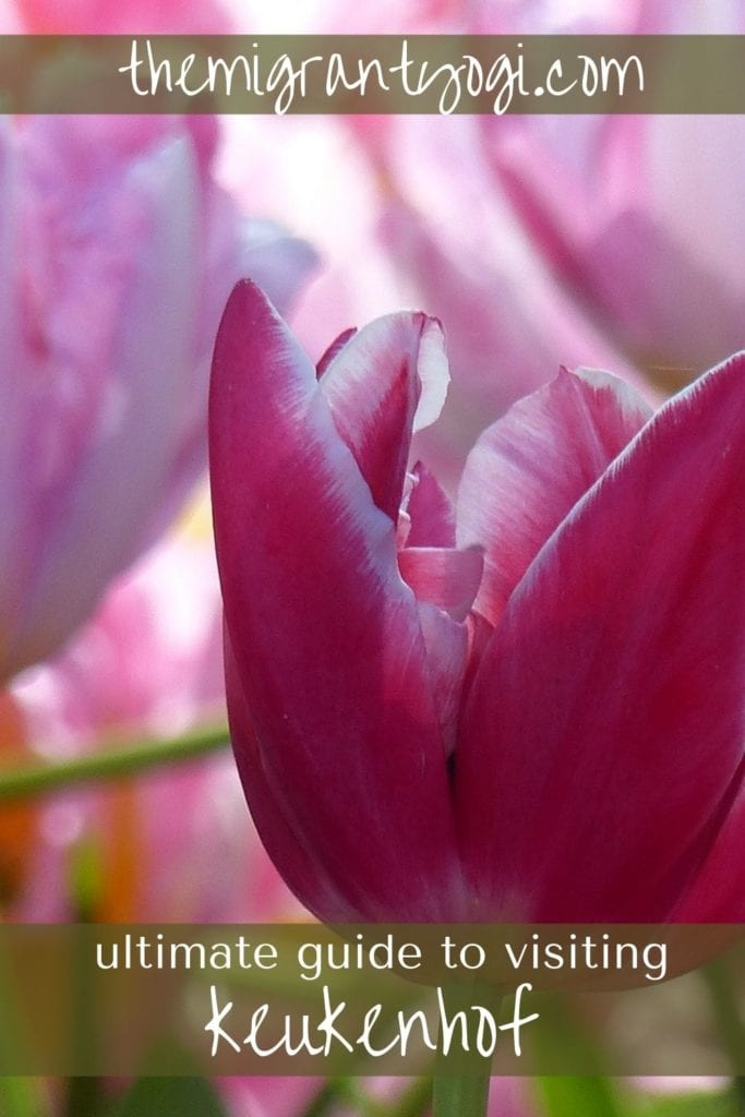 Pinterest graphic, close-up image of pink tulips at the Keukenhof gardens in Netherlands.  Ultimate guide to visiting Keukenhof.