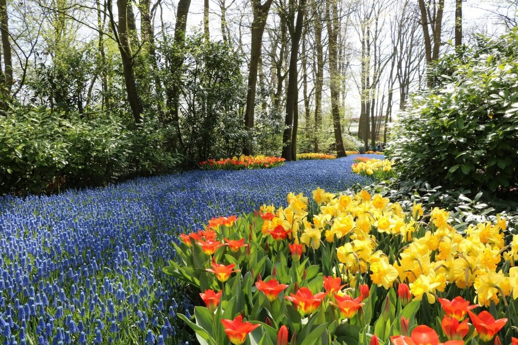 Sprawling beds of red and yellow tulips and hyacinth at Keukenhof Gardens.