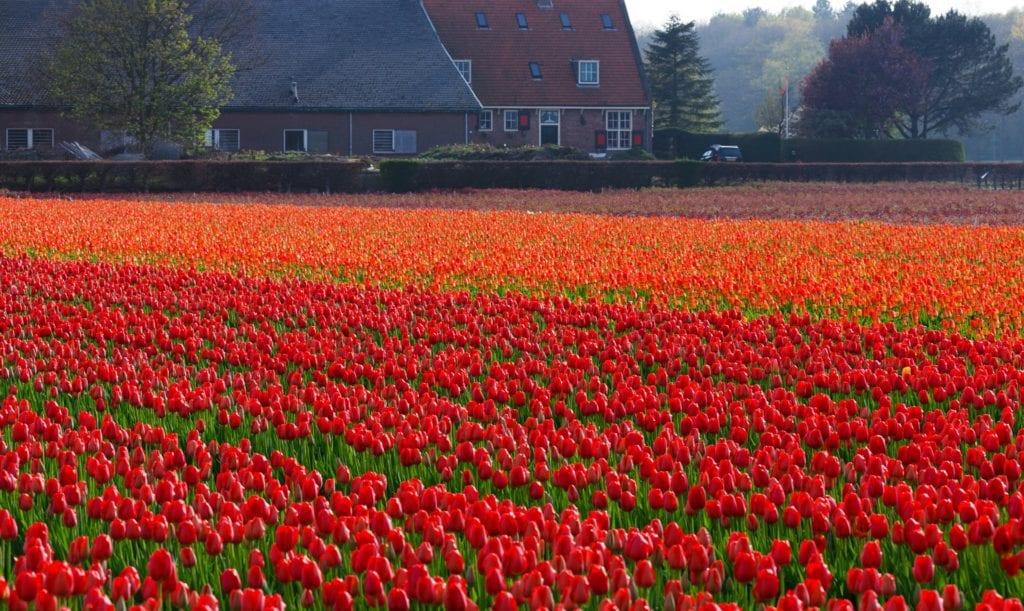 Iconic red tulip field in Lisse, Netherlands, an easy bike ride away  from Keukenhof.