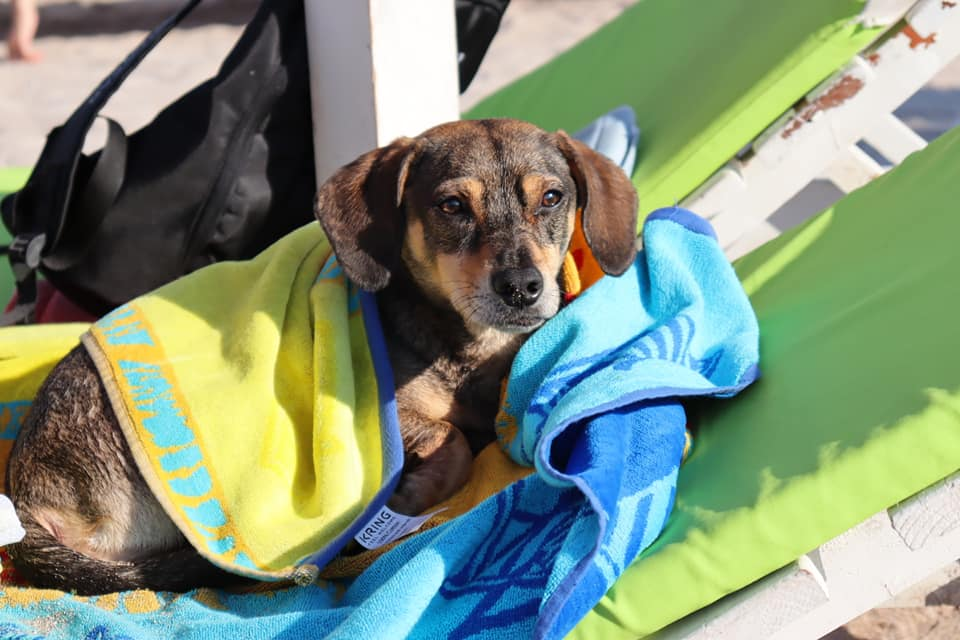Cute dog wrapped in towel on beach chair in Vama Veche.