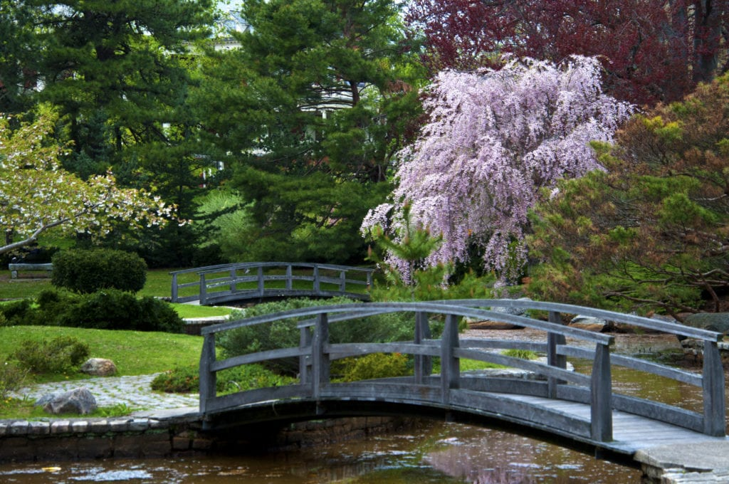 Cherry Blossoms and bridge over stream in Japanese Garden at Roger Williams Park in Rhode Island.