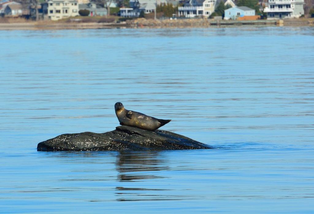 Seal sunning itself on a rock in Rhode Island waters.