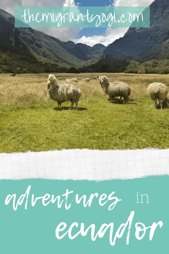 Herd of wild alpacas in Ecuador - Pinterest graphic with text: Adventure in Ecuador.