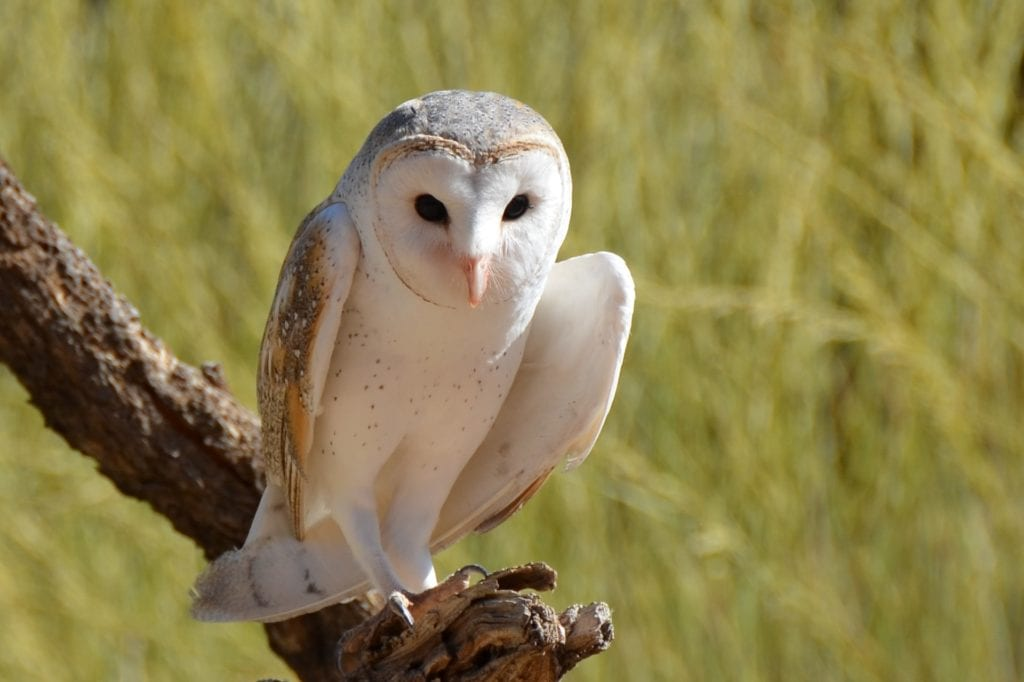 Barn Owl at Audubon in Rhode Island.