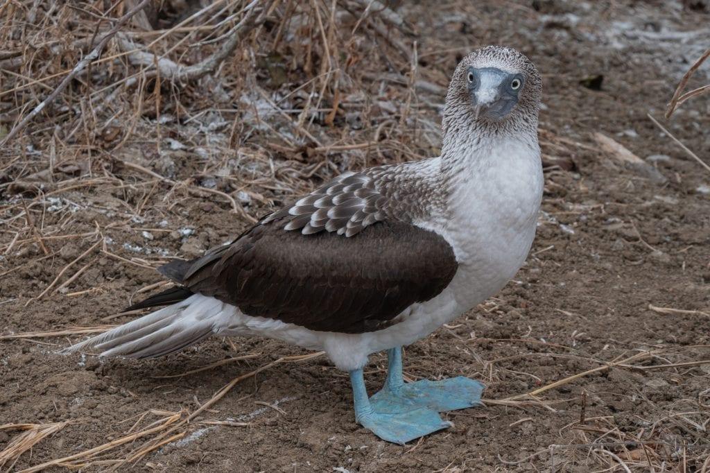 Blue-footed booby on Isla de la Plata in Ecuador.