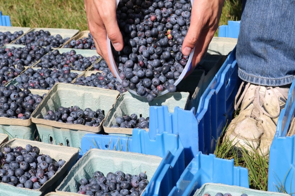 Blueberry picking at Rocky Point in Rhode Island.