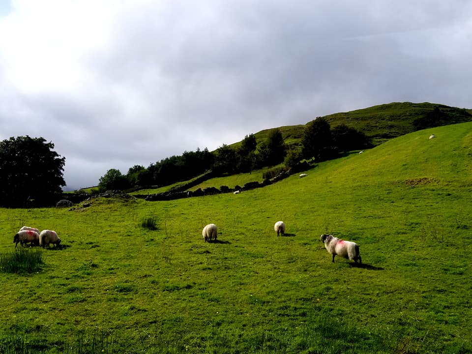Sheep on a hill in Connemara National Park, easy day trip from Galway Ireland