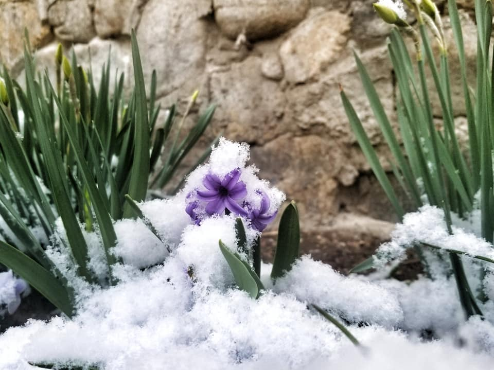 Purple flowers and small buds coming up under a light spring snow covering in Romania.
