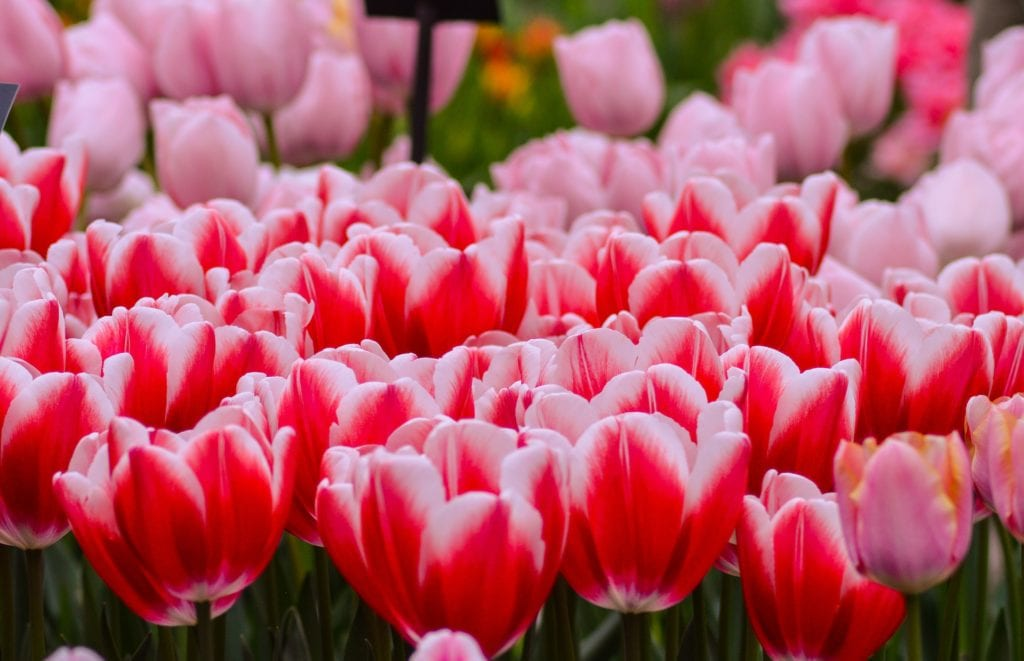 Close-up of tulips in a field.