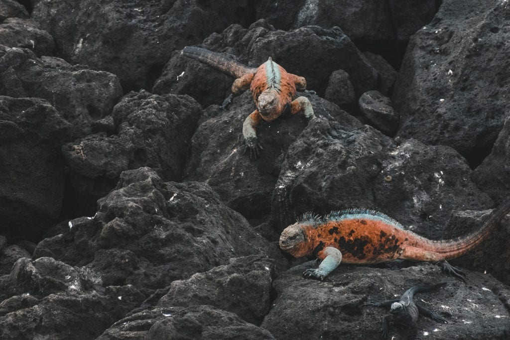 Two red and blue lizards climbing on black volcanic rocks in the Galapagos islands in Ecuador.