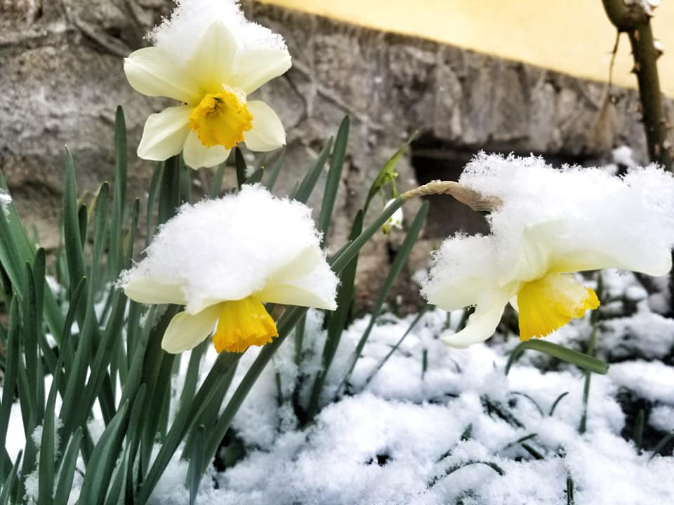 Daffodils covered in snow in Romania during the lockdown