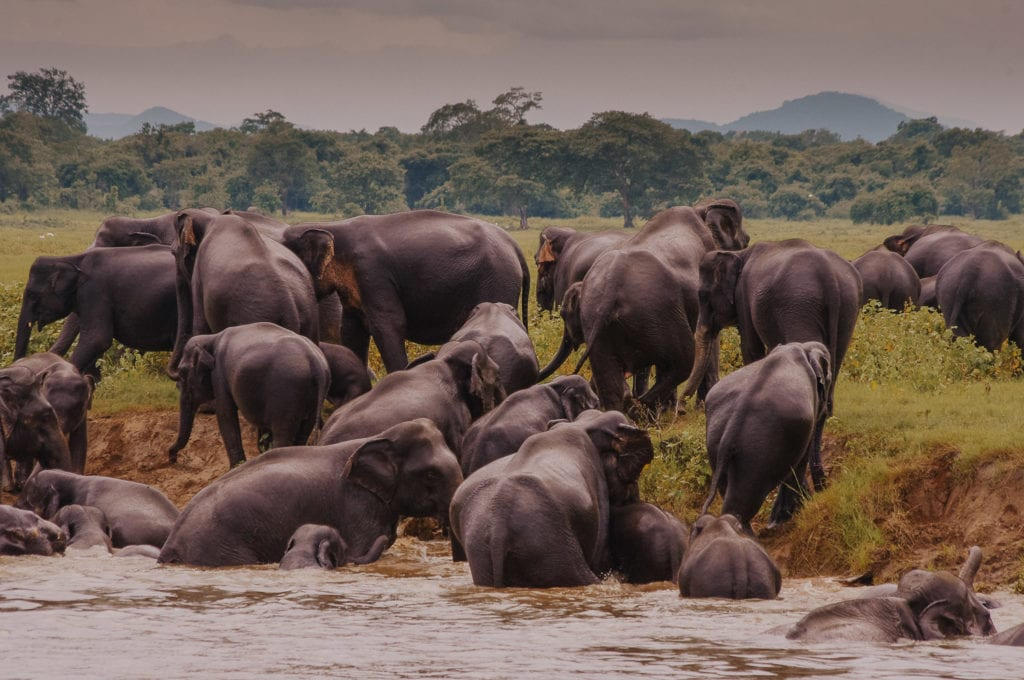 Herd of elephants coming out of the river in Weligama, Sri Lanka, one of the best destinations for digital nomads.