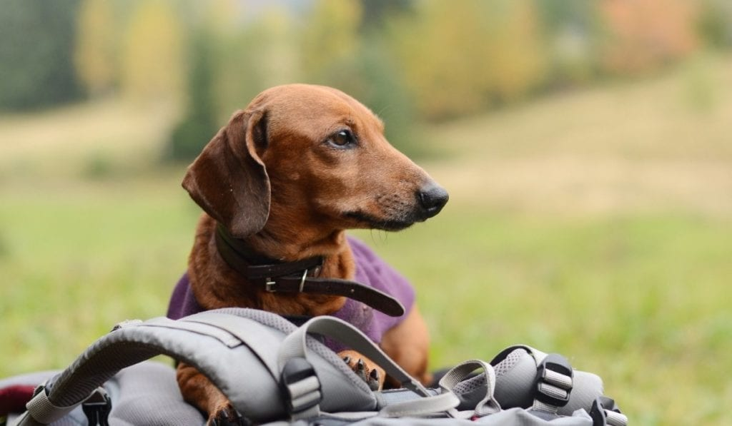 Dachsund sitting on backpack while hiking