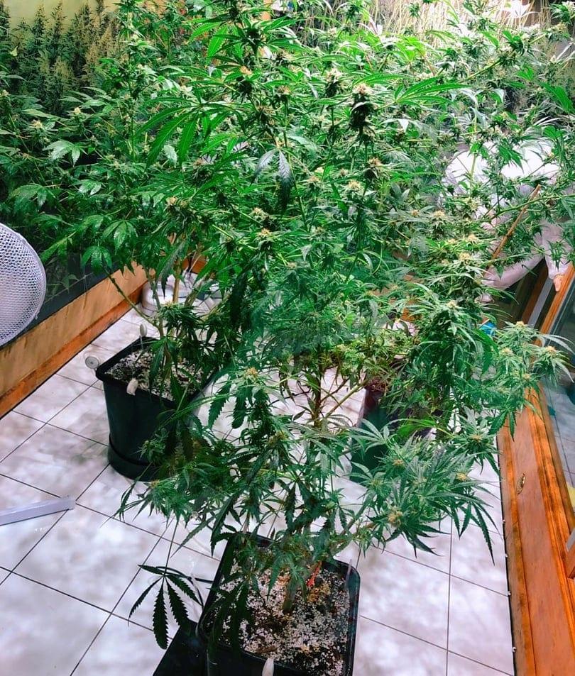 Marijuana plants at the marijuana and hemp museum in Amsterdam.