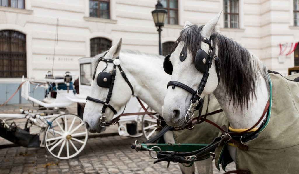White horses with black manes hooked up to a carriage outside the Hofburg Palace in Vienna, Austria.