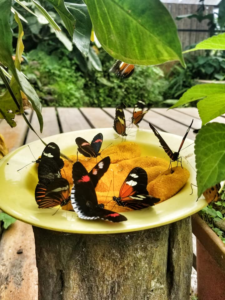 Group of butterflies on a plate of mashed bananas at the Mindo butterfly garden.
