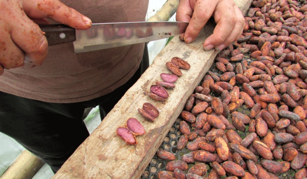 Local chocolate factory worker separating cacao beans in Mindo.